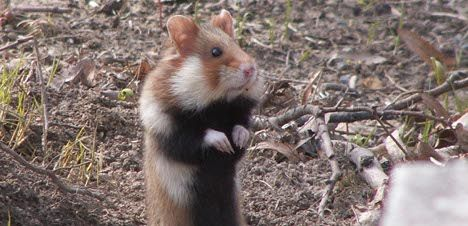 France in trouble over rare rodent