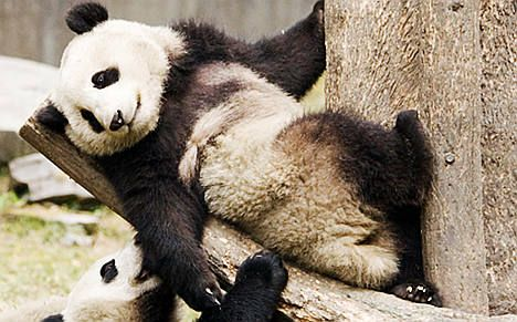 Chinese pandas arrive for new life in France
