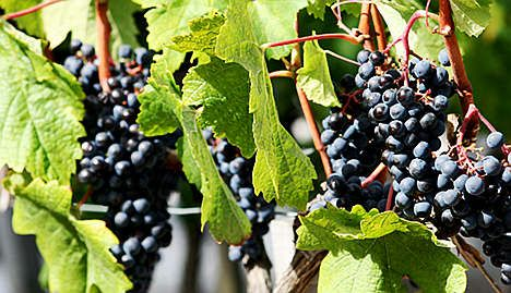 LVMH to make red wine in China