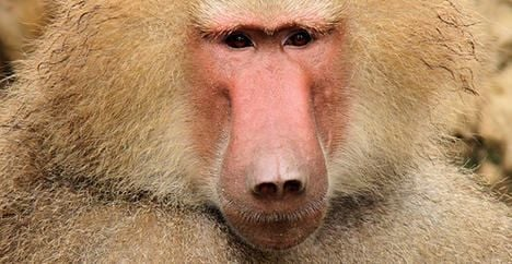 Baboons 'recognize written words'