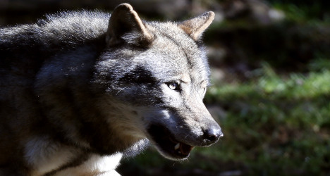 Wolves to be 'educated' not to kill sheep