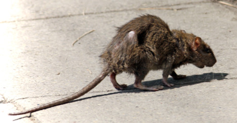 Rodent police launch war on Paris rats