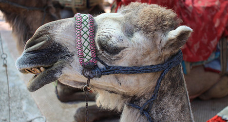 Blow for Hollande as Mali family 'eats his camel'