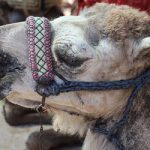 """10. Mali family eats Hollande's CAMEL. Amid domestic and economic woes, someone ate François Hollande's camel in April. It had been a gift on his official visit to the war-torn West African nation, but <a href="""" http://www.thelocal.fr/page/view/blow-for-hollande-as-mali-family-eats-his-camel#.UX_V1BxkM_Y"""" target=""""_blank""""> ended up as a typical Saharan tajine stew</a>. It seems Hollande couldn't even enjoy a rare victory - France's military intervention in Mali - without it being ruined."""