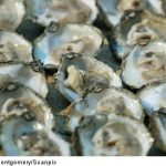 French oyster lovers to munch on Swedish spats
