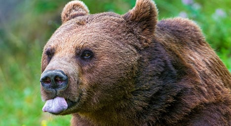 Tibetan bear on the loose in south of France