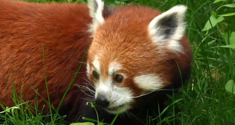 VIDEO: Rare panda looks for love at French zoo