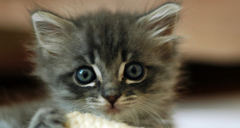 'Miracle kitten' survives 200km trip in car engine