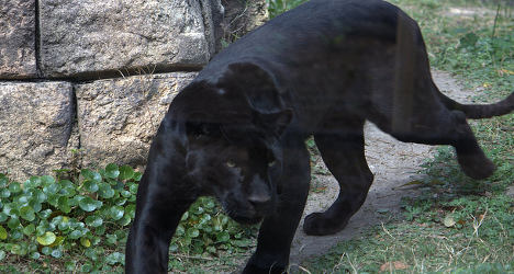 'Black panthers' spotted on the French Riviera