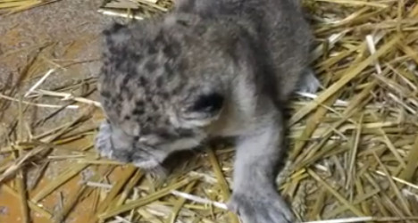Endangered lion cub dies in French zoo