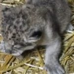 Endangered lion cub born at French zoo