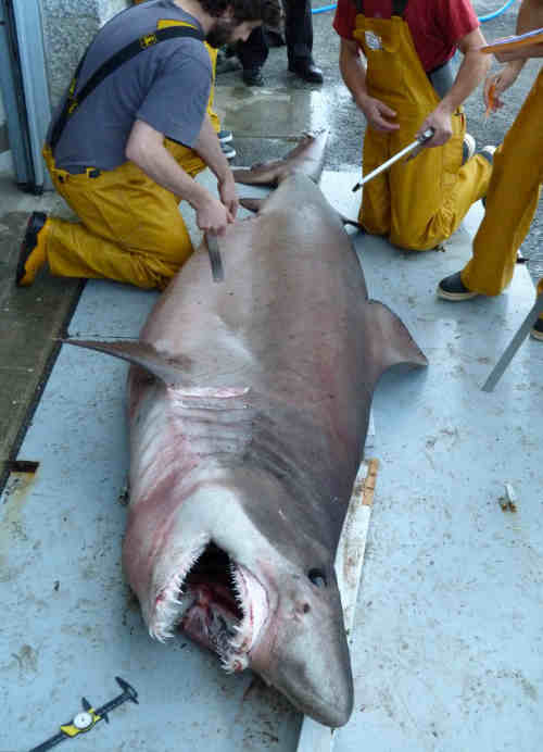 In Pictures: Scientists weigh up shark found on French beach