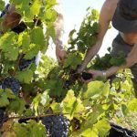 Elite French wine-makers plant roots in China