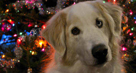 'Don't feed dogs foie gras at Christmas,' warn vets
