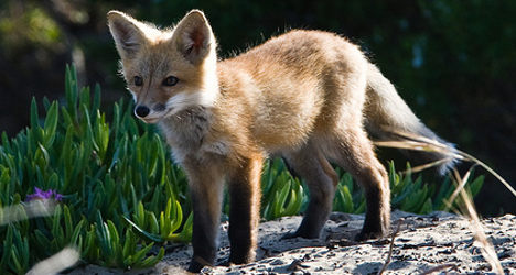 French family wins legal fight to adopt 'loving' fox