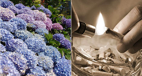 Hydrangea high: Is a new drug coming to France?