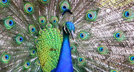 Town Hall peacock drives couple into therapy
