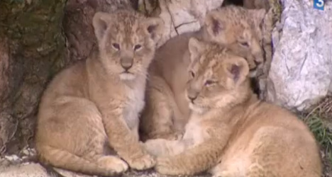 Rare lion cubs killed by parents in French zoo