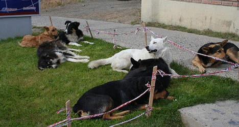 French recluse found living with 87 dogs