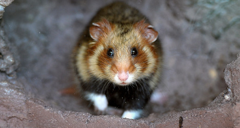 France to spend €3m on protecting Great Hamster