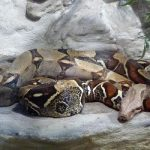 Mystery boa constrictors terrorize French town
