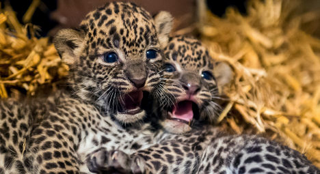 French zoo sees birth of rare Sri Lankan leopards