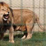 Lion wounds 16-month-old child at French circus
