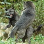 """<b>""""Faire la danse du loup"""":</b> – This expression which literally means """"Doing the wolf dance"""" apparently stems from the 16th century, but we think it's about time it was brought back into fashion.Photo: Shutterstock"""