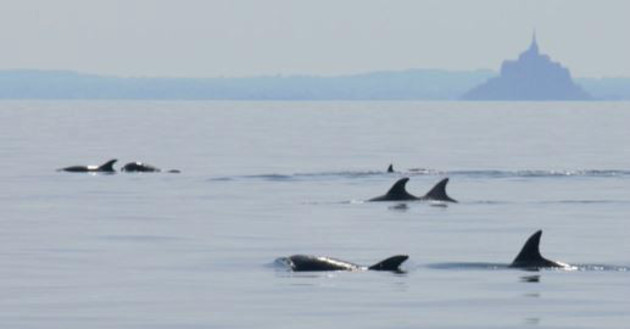 VIDEO: Dolphins pay a visit to Normandy coast