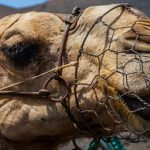 Camel bites baby's head at circus in France