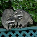 """<b>Raton laveur (racoons):</b> These cute little animals are pretty clean: The French even call them """"little washing rats"""". Photo: Brendan Lally"""