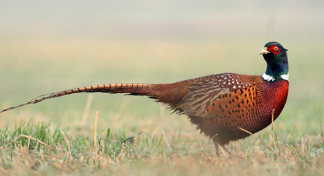 Flood-fleeing pheasants invade French town