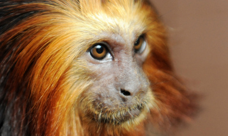 France: Thieves take 17 rare monkeys from zoo
