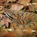 Asp viper. 'Vipera aspis' is found in almost all of France, and has a venomous and extremely painful bite, despite rarely being fatal. Watch out for it near the city of Montpellier, in the Lorraine region, and in parts of the Pyrénées.Photo: Alexandre Roux/Flickr