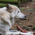 France employs crack team of wolf hunters