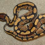French firefighters called in for rogue python