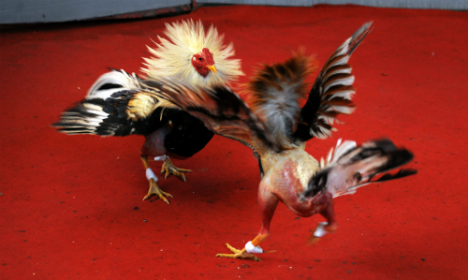 French court says 'non' to new cockfighting pits