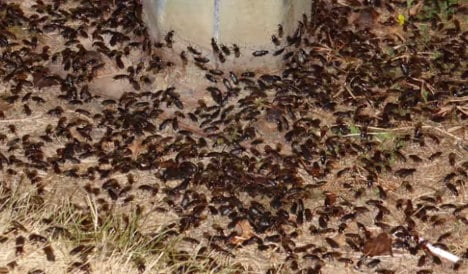 French villagers bugged out by beetle invasion