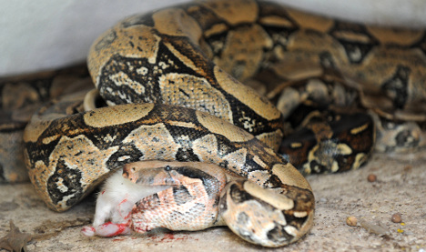 Frenchwoman finds boa constrictor in living room