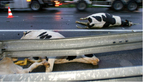 Cattle truck overturns on French Alps motorway