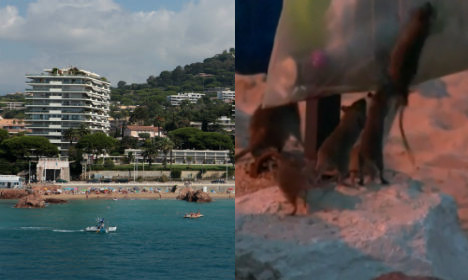 Cannes beach invaded by scores of rats