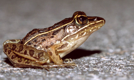 France spends €65k to help mating frogs hop it
