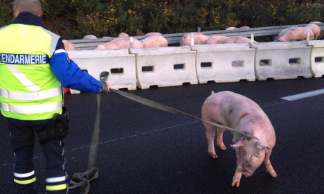 French road accident shows that pigs don't fly