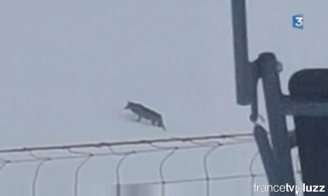 Wolf appears on the slopes at French Alps ski resort