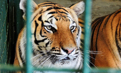 France goes ape over club's 'zoo night' with caged tigers