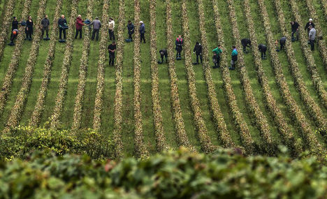 Grape thieves pilfer what's left of Burgundy wine harvests