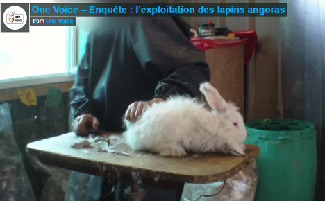 French group releases rabbit video to urge angora ban