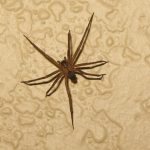 """<string>Violin Spider: In 2009, the city of Marseille was overcome with arachnophobia, as one British newspaper described it, when a resident came within hours of dying after being bitten by a """"violin spider"""" in his bed. Reactions to bites can vary but a gangrenous ulcer can develop in some victims, that destroys soft tissue and may take months to heal. If untreated, it can lead to death. The spiders are native to the southern part of the United States.</string>Photo: oakley originals/flickr"""