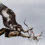 French air force trains eagles to prey on rogue drones