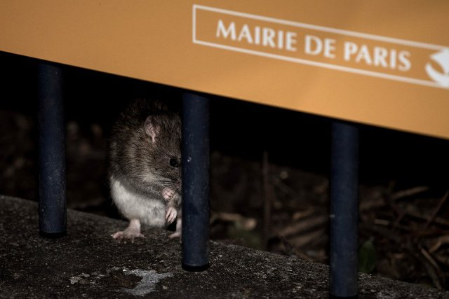 Paris v rats: The battle to keep rodents underground